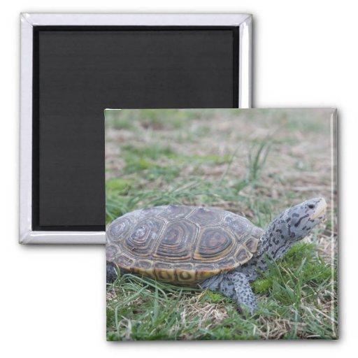 diamondback terrapin turtle refrigerator magnet