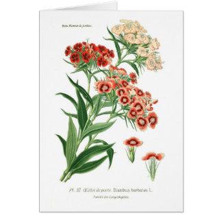 Dianthus barbatus Sweet William Greeting Card