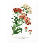 Dianthus barbatus (Sweet William) Postcards