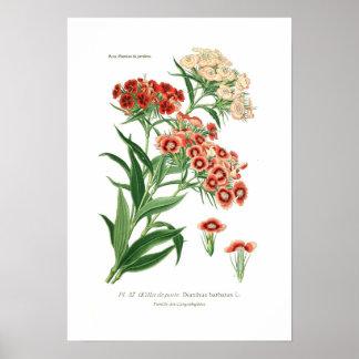 Dianthus barbatus (Sweet William) Poster