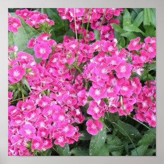 Dianthus Perennial Poster Print