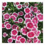 Dianthus Pink White Invite