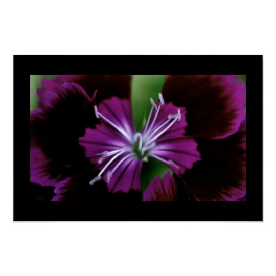 dianthus poster