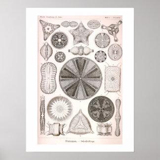 Diatoms Vintage Illustration Poster