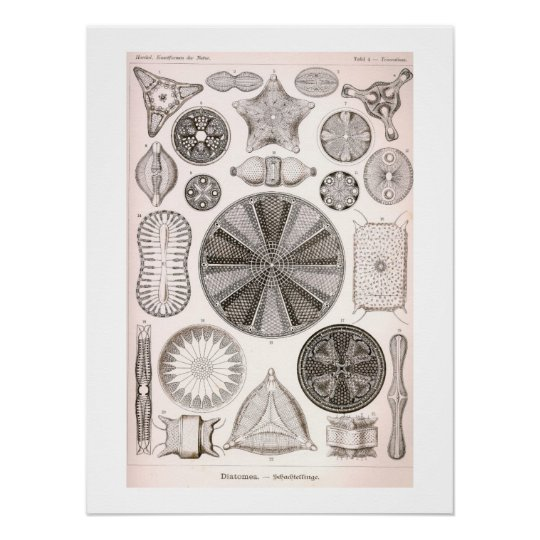 Diatoms Vintage Illustration Poster
