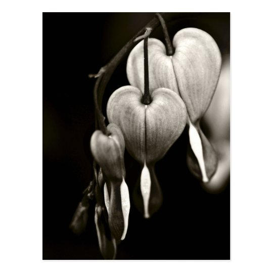 Dicentra - Bleeding Hearts art Postcard (B&W)