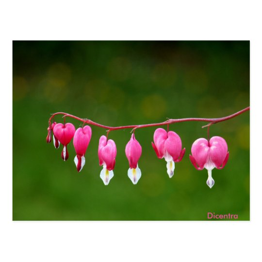 Dicentra - Pink Heart Shape Floral Postcard