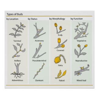 Different Types of Plant Buds in Botany Diagram Poster