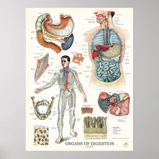 Digestive System Anatomy Poster 18 x 24