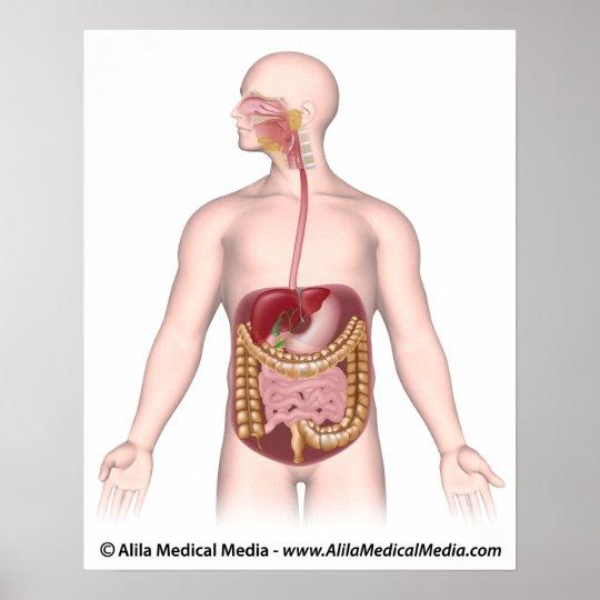 Digestive system unlabeled diagram poster