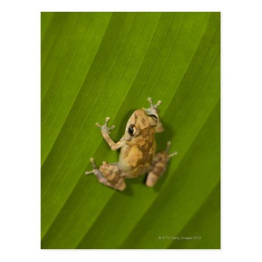 Dink frog (Eleutherodactylus diastema) on a leaf Postcards