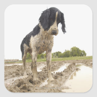 Dirty dog looking at tennis ball in mud square sticker
