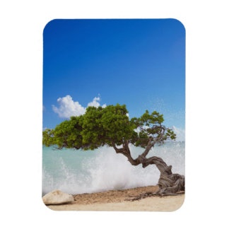 Divi Divi Tree, Eagle Beach, Aruba, Caribbean Magnet