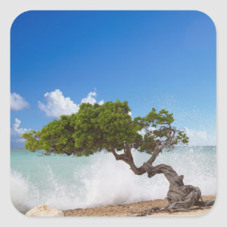 Divi Divi Tree, Eagle Beach, Aruba, Caribbean Square Sticker