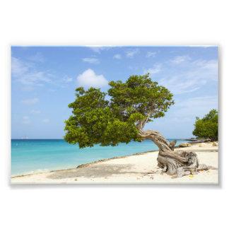 Divi Divi Tree on the Caribbean Island of Aruba Photo