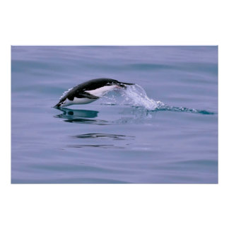 Diving Chinstrap Penguin Poster