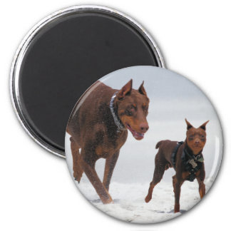 Doberman and Min Pin - LOOK! A Mini Me! Refrigerator Magnet