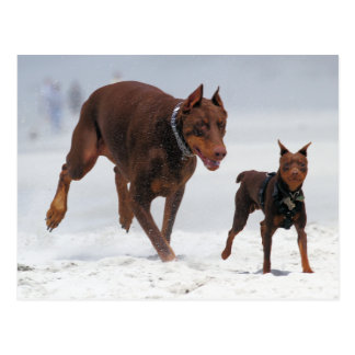 Doberman and Min Pin - LOOK! A Mini Me! Postcard