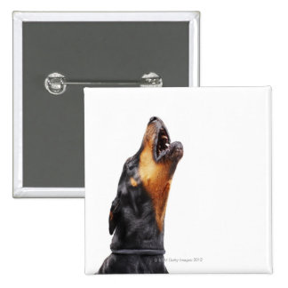 Doberman howling, close-up 15 cm square badge