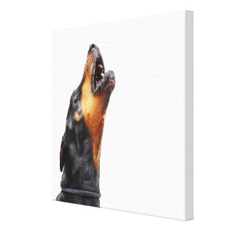 Doberman howling, close-up canvas print