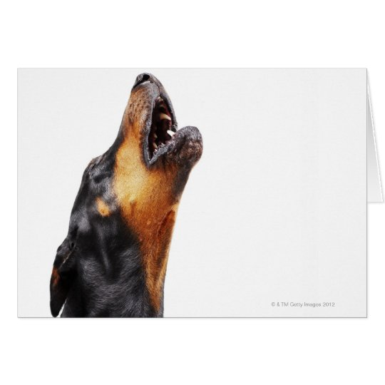 Doberman howling, close-up card