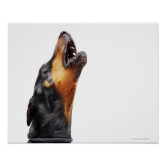 Doberman howling, close-up poster