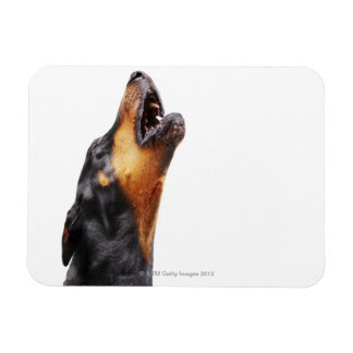 Doberman howling, close-up rectangle magnet