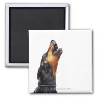 Doberman howling, close-up square magnet