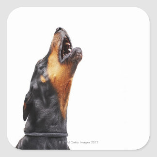Doberman howling, close-up square sticker