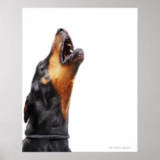 Doberman howling poster