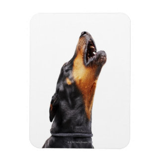 Doberman howling rectangular photo magnet