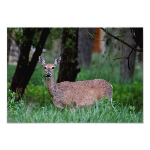 Doe Deer Munching on Grass in Wyoming Photo Art