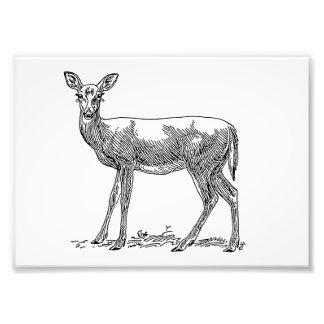 Doe Deer Photograph