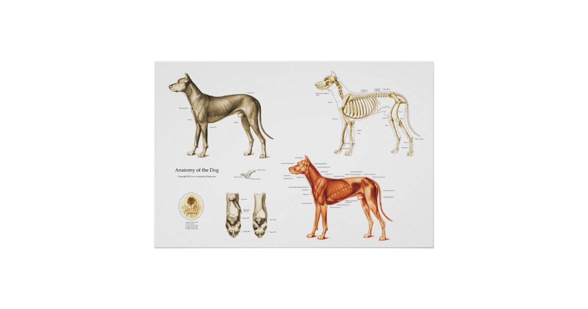 Dog Anatomy Poster Muscles and Bones | Zazzle.co.uk