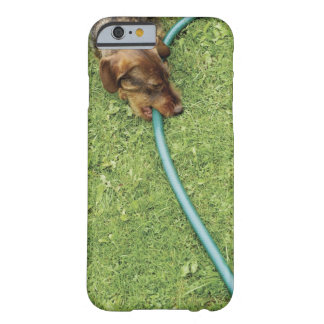 Dog biting on hose on grass and Dandelion leaves Barely There iPhone 6 Case
