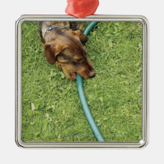 Dog biting on hose on grass and Dandelion leaves Christmas Ornament