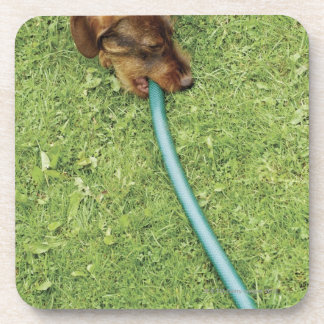 Dog biting on hose on grass and Dandelion leaves Coasters