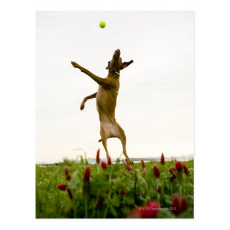 Dog catching tennis ball in mid-air postcard