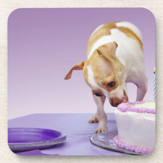 Dog (chihuahua) eating birthday cake on table beverage coasters