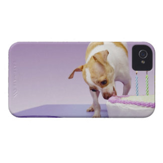 Dog (chihuahua) eating birthday cake on table Case-Mate iPhone 4 cases