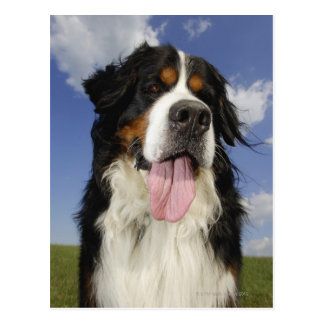 Dog close-up postcards