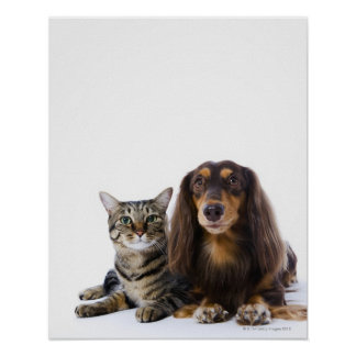 Dog (Dachshund) and cat (Japanese cat) on white Poster