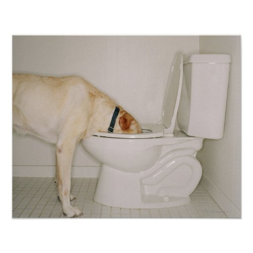 Dog Drinking out of Toilet Poster