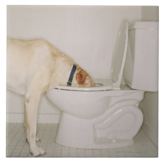 Dog drinking out of toilet tile