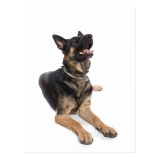 dog - german shepherd postcard
