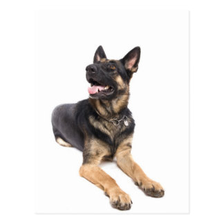 dog - german shepherd postcard