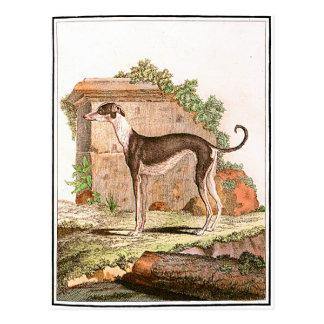 Dog - Greyhound Postcard