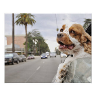 Dog hanging head out of car window poster