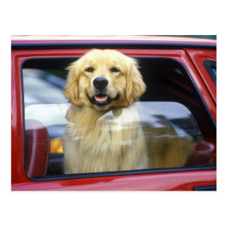 Dog in red car window postcard