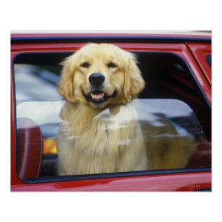 Dog in red car window poster
